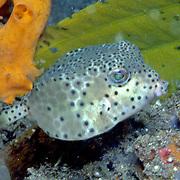 Nasal Boxfish inhabit sheltered bays, sand and mud bottoms. Picture taken Sulawesi, Indonesia.