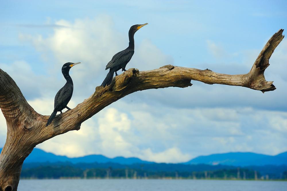 Agua Mágica | cormoranes en lago Bayano, Panamá / aves de Panamá.<br /> <br /> Edición de 5 | Víctor Santamaría.