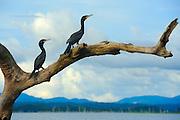 Agua Mágica   cormoranes en lago Bayano, Panamá / aves de Panamá.<br /> <br /> Edición de 5   Víctor Santamaría.