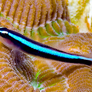 Neon Goby a cleaner fish, perch on cleaner station coral heads in Florida; picture taken Key Largo, Florida Keys.