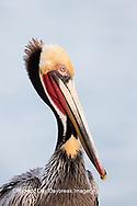 00672-00706 Brown Pelican (Pelecanus occidentalis), La Jolla cliffs, La Jolla, CA