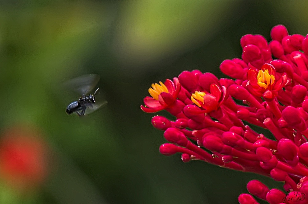 A bee approaching a red flower, its wings blurred from motion of flying, with bokeh.