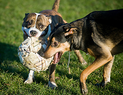 Using a tatty old football a playful Black and Tan juvenile mongrel dog plays tug of war with a short legged Brindle and white Staffordshire Bull Terrier in the local park