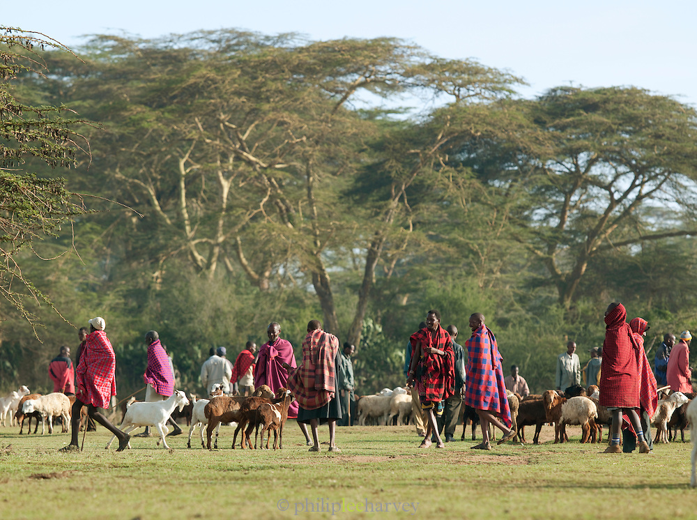 Maasai tribesmen with cattle near Maasa Mara National Reserve, Kenya