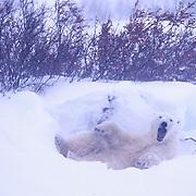 Polar Bear, (Ursuss maritimus) Yawning in snow bed. Churchill, Manitoba. Canada.
