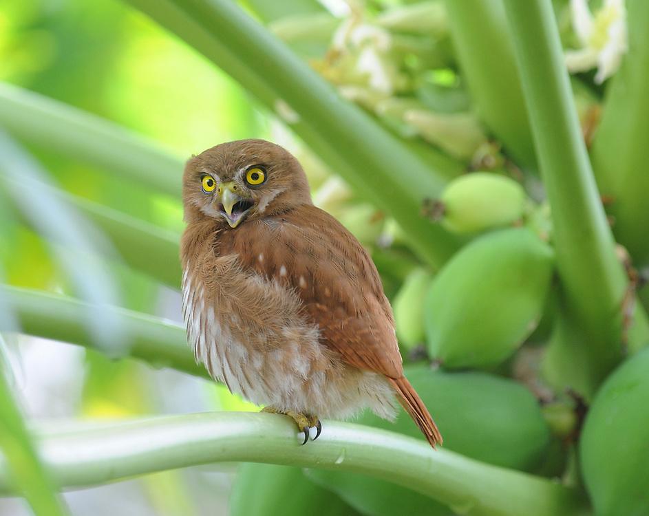 A ferruginous pygmy owl (Glaucidium brasilianum) calls from a  papaya tree. Yasuni National Park, Amazon, Ecuador.