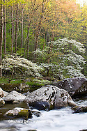66745-04107 Dogwood trees in spring along Middle Prong Little River, Tremont area, Great Smoky Mountains National Park,TN