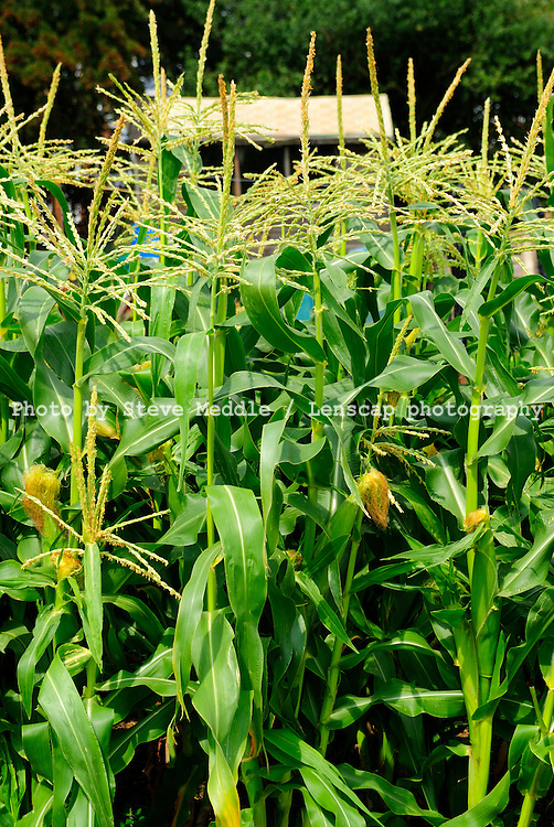 Sweetcorn Growing in an Allotment, Essex, Britain - August 2009