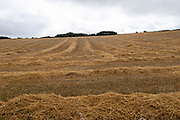 Agricultural landscape of a harvested wheat field under clouds on 19th August 2021 in Mwnt, Pembrokeshire, Wales, United Kingdom. Golden colour straw remains on the land after harvesting. Wheat is a cereal grain cultivated worldwide. In 2013, world production of wheat was 713 million tons, making it the third most-produced cereal.