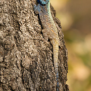 Southern rock Agama, South Africa.