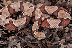 Agkistrodon contortrix contortrix, Southern Copperhead snake, pit viper, poisonous, reptile, snake, venomous
