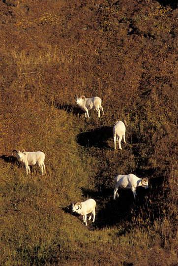 Dall Sheep, (Ovis dalli) Grazing along ridge. Denali National Park.