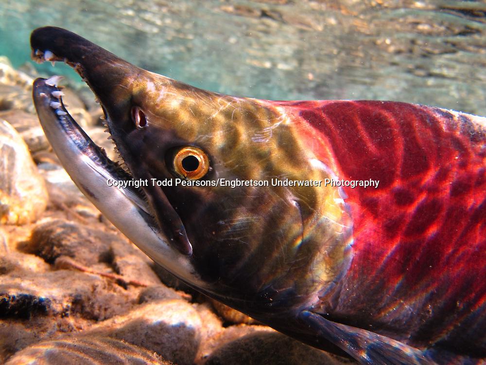 Sockeye Salmon (Male)<br /> <br /> Todd Pearsons/Engbretson Underwater Photography