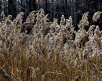 Tall Grass. Winter walkabout at the Sourland Mountain Preserve in Hillsbourgh, New Jersey. Image taken with a Nikon D2xs camera and 17-55 mm lens (ISO 100, 55 mm, f/5, 1/320 sec)
