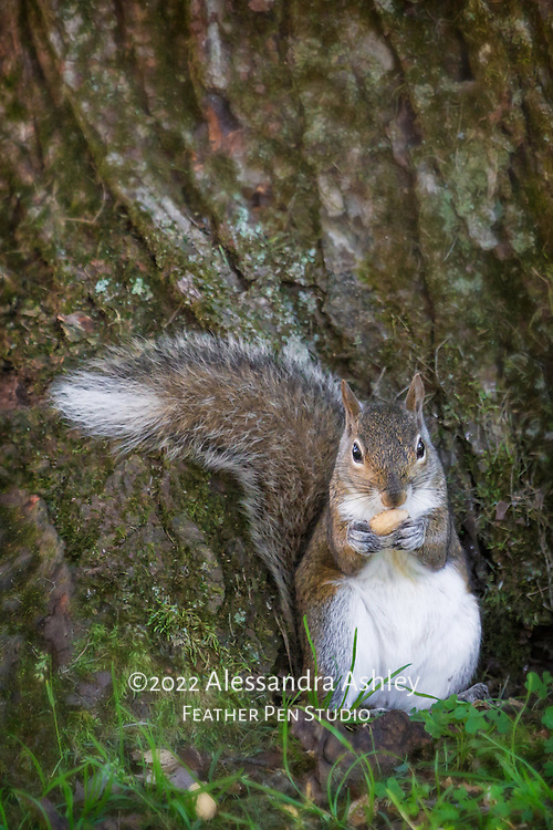 Squirrel leans back on tree trunk, ready to enjoy a peanut snack.
