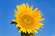 Flowering sunflower in morning sun near Ryeford, Queensland, Australia <br />