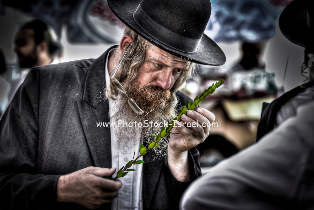 Israel, Bnei Brak, Closely examining the Hadas at the Sukkoth 4 species market. Of the many symbols associated with Sukkot the most important are the Four Species. Etrog - The fruit of the goodly tree, also known as the citron. Palm branch - know as the lulav. Myrtle - the hadas and Willow - the aravah