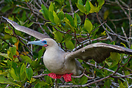 Genovesa Island with a large population of nesting sea birds in the Galapagos National Park, Galapagos, Ecuador.  Here is a red footed booby in the mangroves that line Darwin Bay.