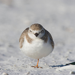 A Piping plover, Charadrius melodus, on North Beach at Fort De Soto Park in Pinellas County, Florida.  Winter plumage.