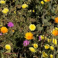USA, California, San Diego County. Desert Wildflowers at Anza-Borrego.