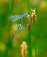 DRAGONFLY, Campanarios de Azaba Biological Reserve, Salamanca, Castilla y Leon, Spain, Europe