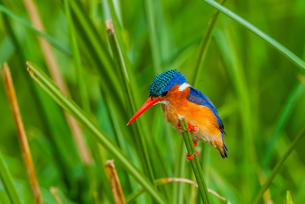 Malachite kingfisher. The Kazinga Channel in Uganda is a wide, 32-kilometre (20 mi) long natural channel that links Lake Edward and Lake George, and a dominant feature of Queen Elizabeth National Park. The channel attracts a varied range of animals and birds, with one of the world's largest concentration of hippos and numerous Nile crocodiles.