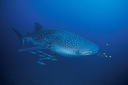 Whale Shark, Rhincodon typus, accompanied by remoras and juvenile jacks. Richelieu Rock, Andaman Sea, Thailand.