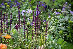 Salvia nemorosa 'Caradonna' AGM syn. Salvia × sylvestris 'Caradonna'. Balkan clary with Melica altissima 'Alba'