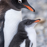 An adult gentoo penguin sits on a nest with its chick at Brown Bluff in Antarctica.