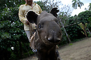 Lago Agrio - Wednesday, Dec 19 2007: Close up of a a juvenile Lowland tapir (Tapirus terrestris). The tapir was being rehabilltated after his mother had been killed by a hunter and one of the hunter's dogs had savaged the young tapir. It is hoped that the tapir will be returned to the wild in the future. (Photo by Peter Horrell / http://www.peterhorrell.com)