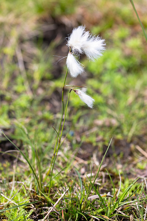 Bog Cotton white wild flower blowing in the wind on a turf - peat - bog at Old Dornie on the West Coast of Scotland