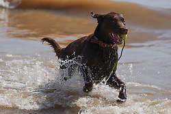 © Licensed to London News Pictures. 07/08/2020. Bridlington, UK. A dog enjoys  the sun on Bridlington beach this afternoon.  The UK is set to bask as temperatures today will reach 36 degrees Celsius in the capital during a mini heatwave. Photo credit: Ioannis Alexopoulos/LNP