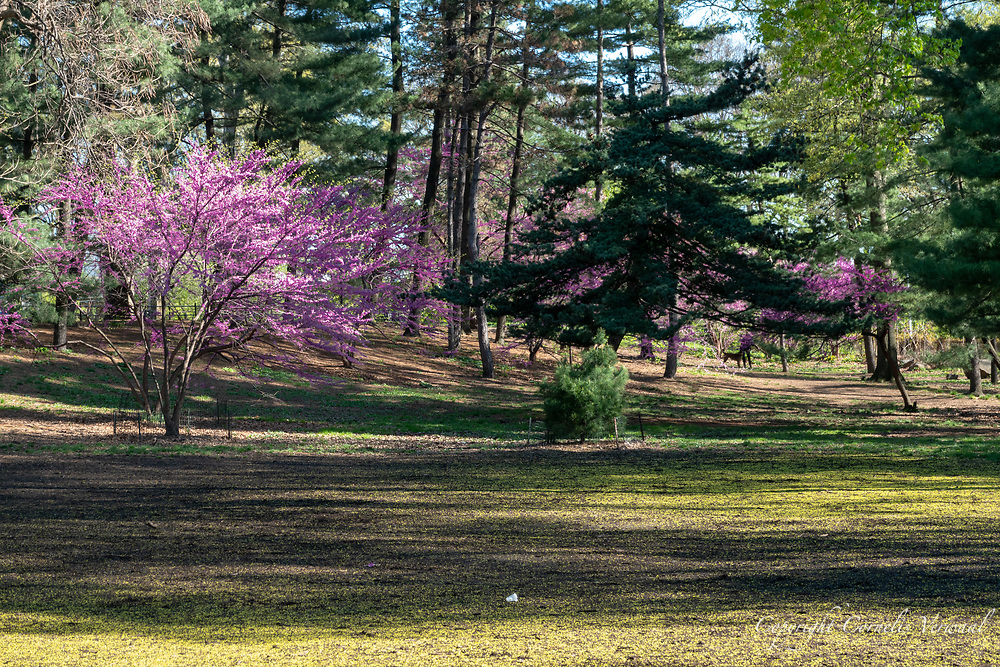 Eastern Redbuds at the Pinetum East in Central Park