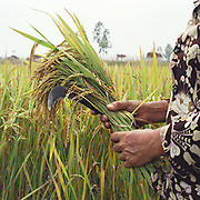 A woman holds a bunch of rice she has harvested using a sickle in a paddy field in Phu Vinh village, Ha Tay province, Vietnam.