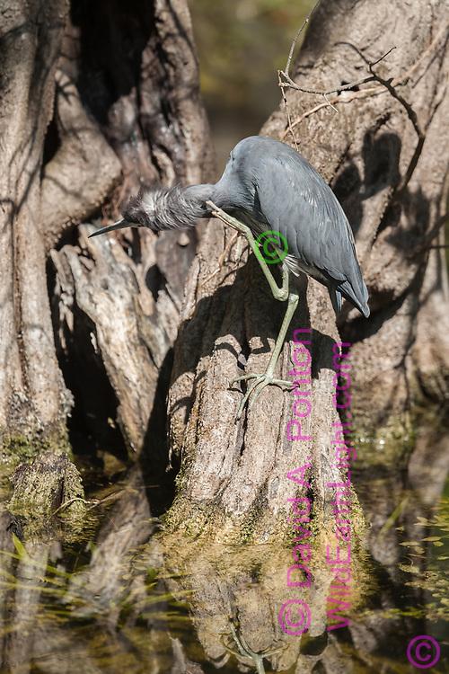 Little blue heron scratching its neck, Big Cypress National Preserve