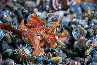 Juvenile Lacey Scorpionfish, with lunch sticking out of its mouth<br /> <br /> <br /> <br /> Shot in Indonesia