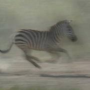 Burchell's Zebra (Equus burchelli) Running during migration in Serengeti National Park. More than 200,000 zebras migrate along side one million wildebeest and 300,000 Thomson's gazelles. Tanzania. Africa. February.