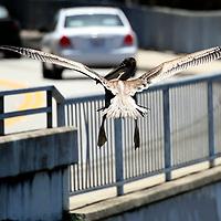 A pelican flies alongside traffic on San Lorenzo Blvd. after taking off from the bank of the San Lorenzo River near downtown Santa Cruz, California.<br /> Photo by Shmuel Thaler <br /> shmuel_thaler@yahoo.com www.shmuelthaler.com