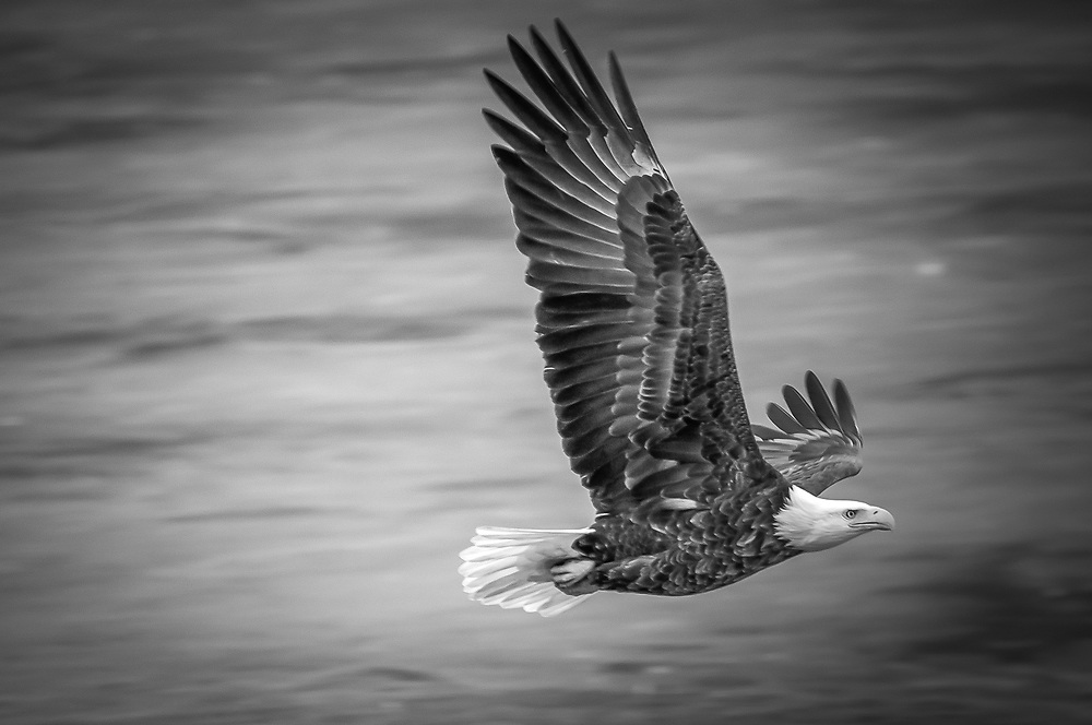 Enjoyed watching this Eagle soar over the river scanning for fish