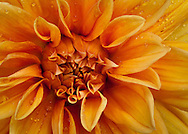 A close-up of a large dahlia bloom.