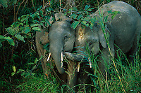 Two young male Borneo Pygmy Elephants (Elephas maximus borneensis) tussle in dense vegetation.