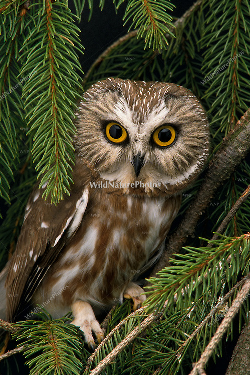 Northern Saw-whet Owl (Aegolius acadicus), perched in a Norway Spruce tree