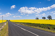 rural road between fields of flowering canola crop under blue sky and cumulus cloud  near Cudal, News South Wales, Austraila. <br />