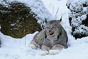 Captive Lynx  at  Krochel Wildlife Center near Haines, Alaska
