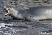 Hawaiian monk seal, Monachus schauinslandi ( Critically Endangered endemic species ), growling, Pu'uhonua o Honaunau ( City of Refuge ) National Historical Park, Kona, Hawaii ( Big Island ) ( Central Pacific Ocean )