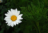 Leucothemum 'Becky'
