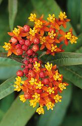 Asclepias curassavica. Blood flower, Indian root, Swallow-wort