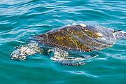 Dead sea turtle, Sea of Cortez, Baja Mexico