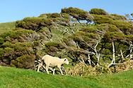 Oceania; New Zealand; Aotearoa; South Island; Golden Bay, Kahurangi National Park, Sheep