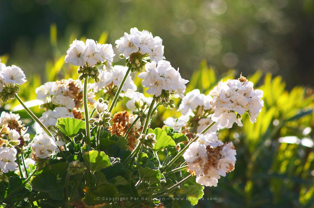 White geranium flowers in a big flower pot the garden Clos des Iles Le Brusc Six Fours Cote d'Azur Var France
